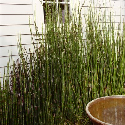 How to Trim a Horsetail Plant
