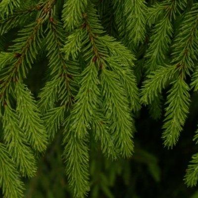 How to Prune a Bird's Nest Spruce