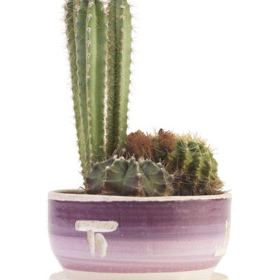 My Cactus Is Shriveled