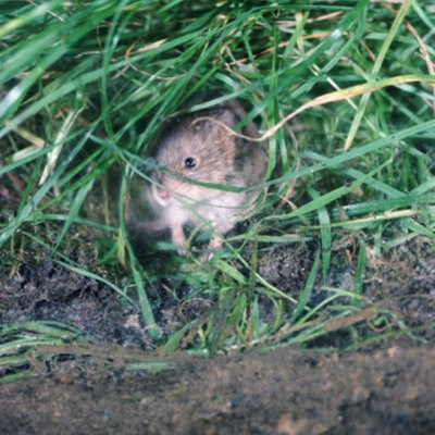 What Kinds of Flowers Do Voles Hate?
