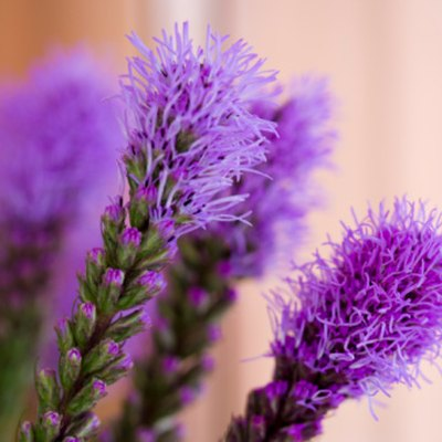 Do You Deadhead Blazing Star Plants?