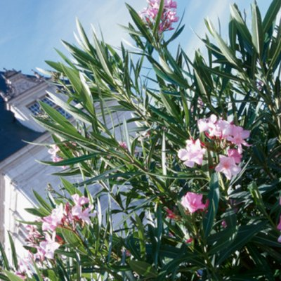 How to Train an Oleander