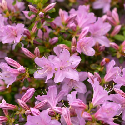 Beautiful Japanese pink Azalea flowers in dense shrubbery garden.