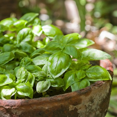 Fresh basil growing in an old terracotta pot outdoors