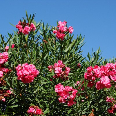 How to Prune and Care for Oleander Plants