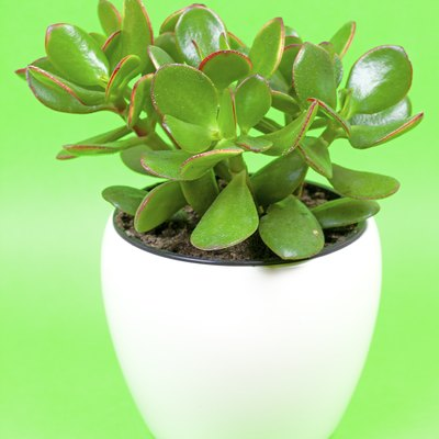 Jade plant, lucky plant, money plant or money tree, (Crassula ovata)