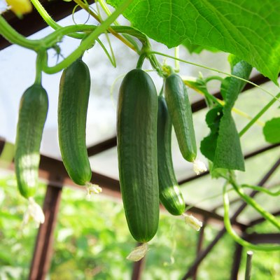 Why Are My Cucumber Plants Wilting & Dying?
