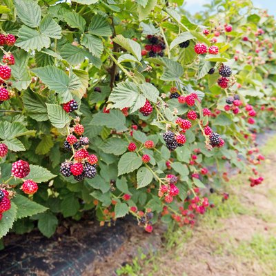 Ripe and red blackberries