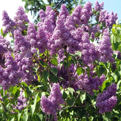 Bright lilac branch on a tree against the blue sky.