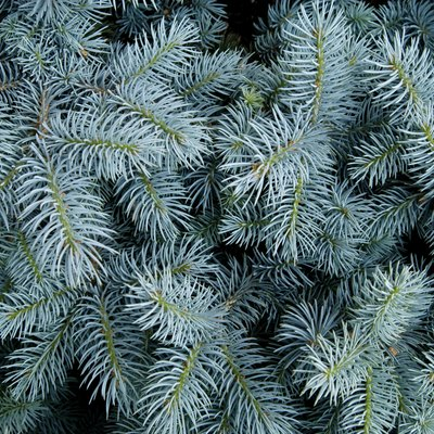 How to Turn Blue Spruce Trees Blue