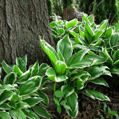 Hostas growing around a tree