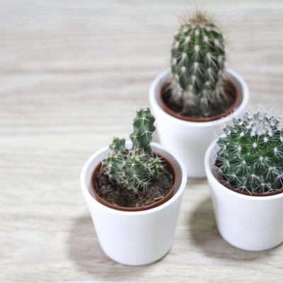 Three Cactus in pots