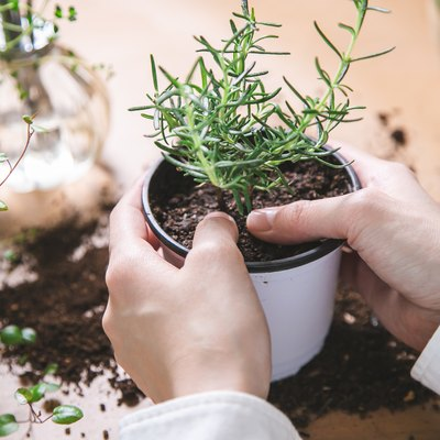 Indoor gardening. Women's hands taking care of herbs.