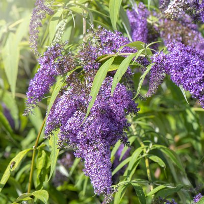 Close-up image of the beautiful summer flowering Buddleja, or Buddleia purple flowers also known as the butterfly bush