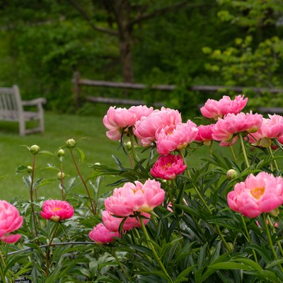 Pink Peony Plants in a Garden