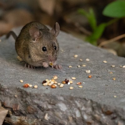 A House Mouse Foraging on Birdseed