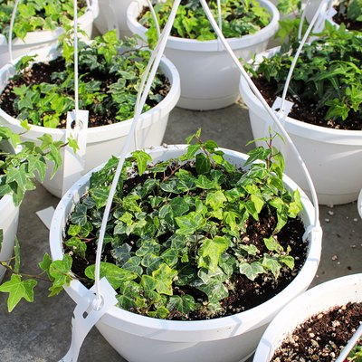 Seedling English Ivy plants growing in hanging pots