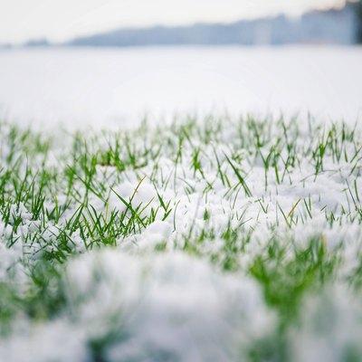 Green grass in snow, bush in background, Hello spring concept