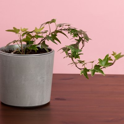 HEDERA HELIX Ivy, Potted plant
