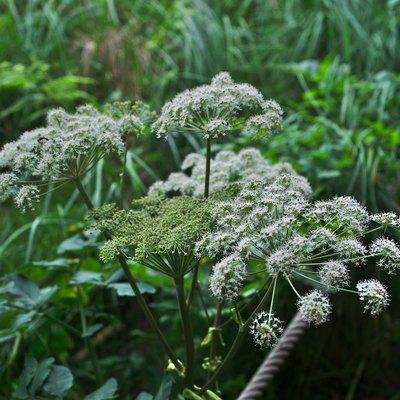 Fleurs d'Angélique sauvage