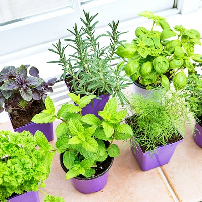 Herb Garden Seedling Plants in Retail Containers