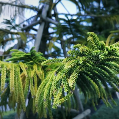 Close-up Leaves of Norfolk Island Pine with Selective Focus