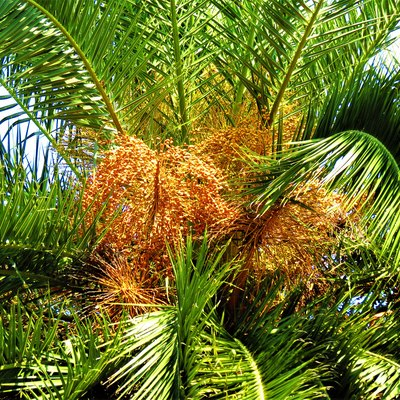 Syagrus romanzoffiana (Queen palm) with fruits.