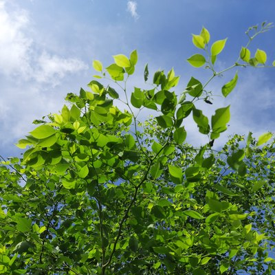 Dalbergia sissoo tree in blue sky background.