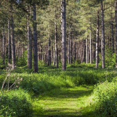 Trail beneath the pines, Lynford Arboretum, Thetford Forest, East Anglia, Norfolk, UK