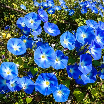 blue flowers of morning glory