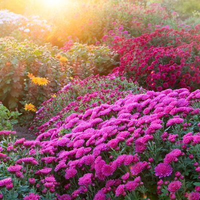 Purple chrysanthemum flowers at sunny day.