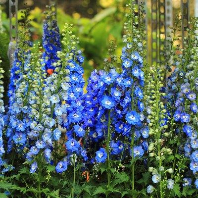 blue delphinium flower
