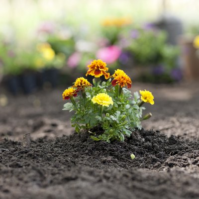 Marigold Flower in the Garden