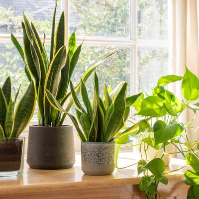 Potted snake plants inside a beautiful new flat or apartment.