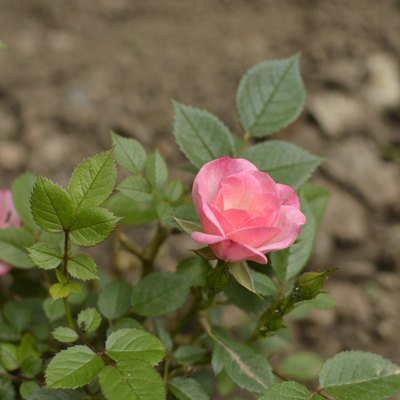 mini pink blooming rose growing in the garden close up