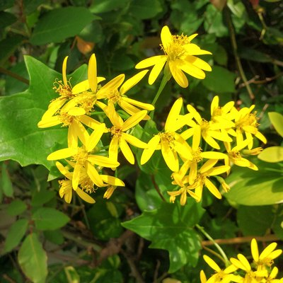 Delairea odorata, known by German Ivy or Cape Ivy, yellow flower creeper.
