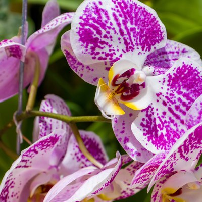 White and purple orchid with green background