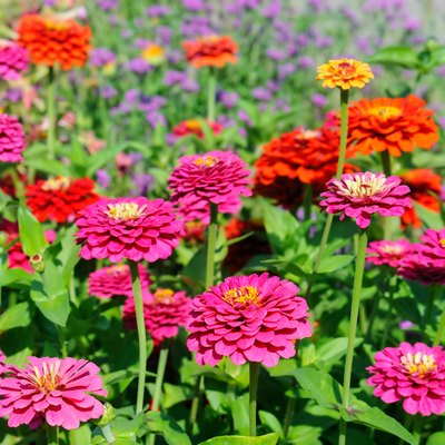 Colorful blooming zinnia blossoms in garden.Summer milti colored background.Sunny weather.Arrangement of flowers.Floriculture.