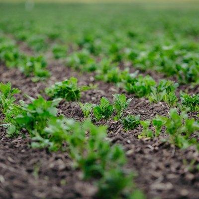 Field of green potato bushes. A young potato plant grows on soil.