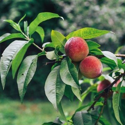 Beautiful Peach on a treeon a farm. Close up.