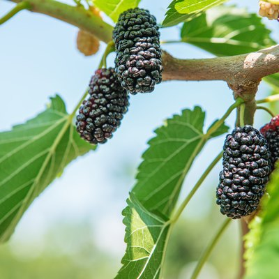 Fresh mulberry, black ripe and red unripe mulberries