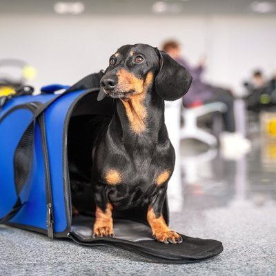 Obedient dachshund dog sits in blue pet carrier in public place and waits the owner. Safe travel with animals by plane or train. Customs quarantine before or after transporting animals across border