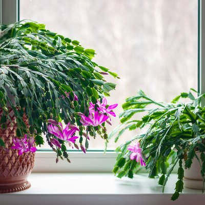 Thanksgiving cactus (Schlumbergera truncata) or crab cactus plants on window sill start blossoming in winter