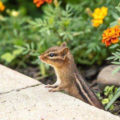 Little Chipmunk in Garden