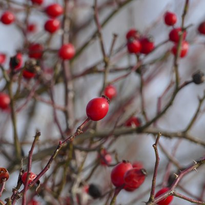 Red rose hips on branch