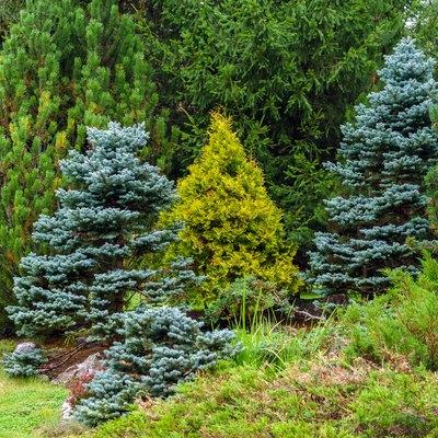 various conifers as an element of landscape design