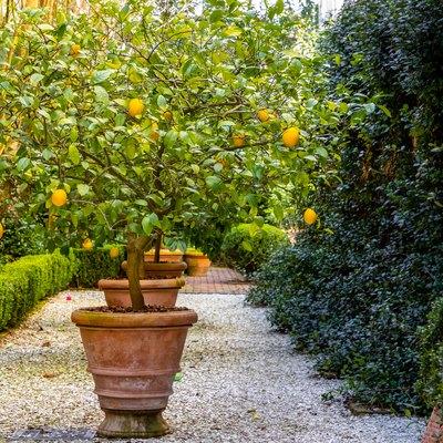 Lemon tree in a quiet garden