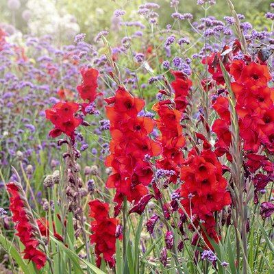 Close-up image of the beautiful summer flowering vibrant red Gladiolus flowers with purple Verbena bonariensis flower also known as 'Purpletop' or South American Vervain