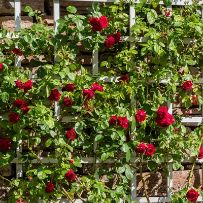 Bush of beautiful red roses growing on a white trellis.