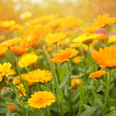 Blurred summer background with flowers calendula